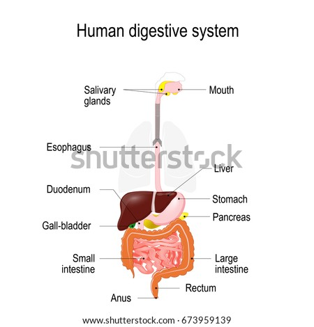 Human digestive system location gastrointestinal tract stock vector human digestive system location of the gastrointestinal tract in the human body text labels ccuart Images