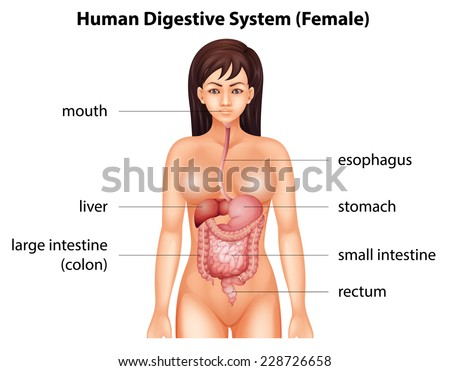 Human digestive system of a female - stock vector