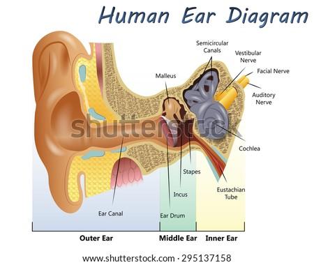 Human Ear Diagram - stock vector