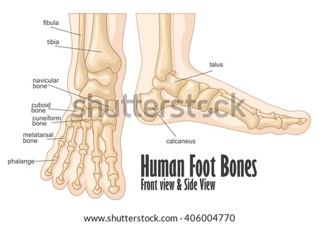 foot bones stock images, royalty-free images & vectors | shutterstock, Cephalic Vein