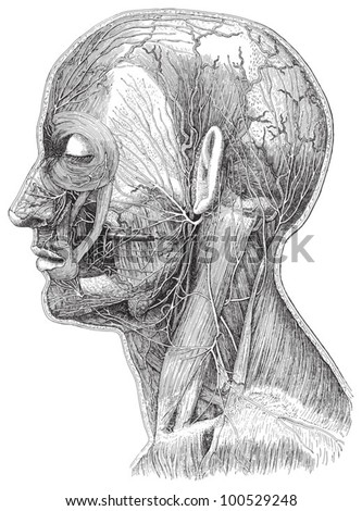 Human head anatomy - vein system / vintage illustration from Meyers Konversations-Lexikon 1897 - stock vector