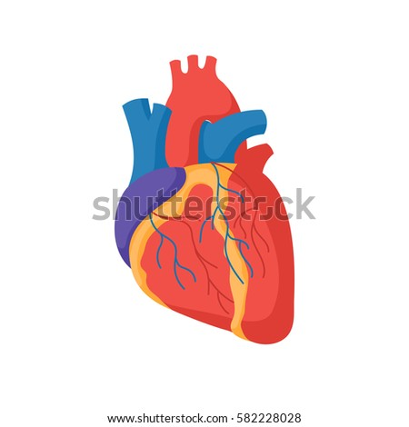 human heart illustration stock images, royalty-free images, Muscles