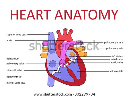 human heart anatomy schematic diagram vector stock vector, Muscles