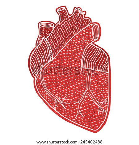 Human heart hand drawn isolated on a white backgrounds  - stock vector