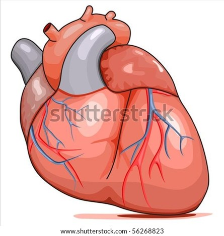 heart muscle stock images, royalty-free images & vectors, Muscles