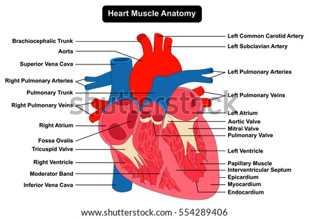 Heart diagram labeled in english on project diy wiring diagrams human heart muscle structure anatomy infographic stock vector rh shutterstock com heart diagram information heart diagram in spanish ccuart Images