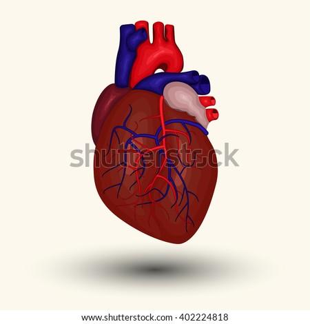 Human heart sign, Human heart icon, human heart cartoon designed, human heart web icon, human heart new, human heart emblem, heart diagnostic center sign, heart diagnostic center icon, vector - stock vector