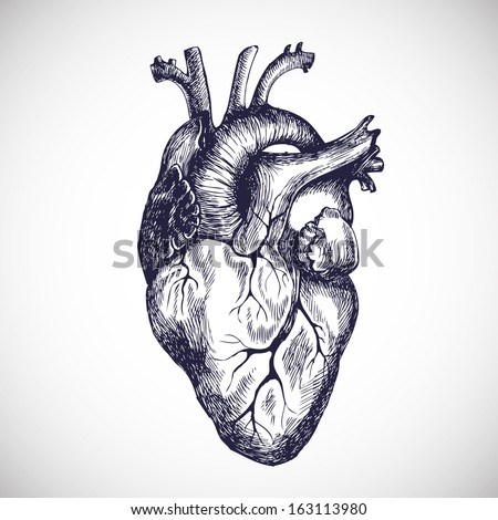 Human heart. Vector illustration. - stock vector