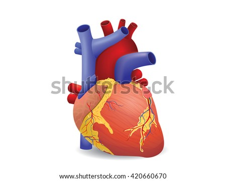 Human heart vector isolated on white background. This illustration about medical and health care. - stock vector