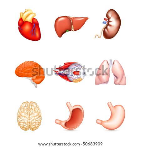 Human Internal Organs, vector