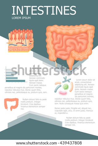 Human intestines infographic poster with chart, diagram and icon. Intestines anatomy medical science infographic with chart, diagram. Vector intestines infographic brochure with chart Gastrointestinal - stock vector