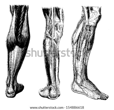 Human Leg, showing posterior surface (left), deep posterior region (middle), and deep anterior region(right), vintage engraved illustration. Usual Medicine Dictionary by Dr Labarthe - 1885 - stock vector