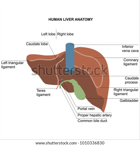 Human organ liver front rear location stock vector 529487944 human liver anatomy diagram for student dissertation ccuart Image collections