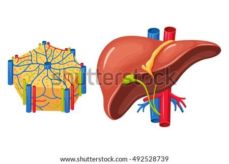 Human liver anatomy medical science vector em vetor stock 492528739 human liver anatomy medical science vector illustration internal organ gallbladder aorta and ccuart Choice Image