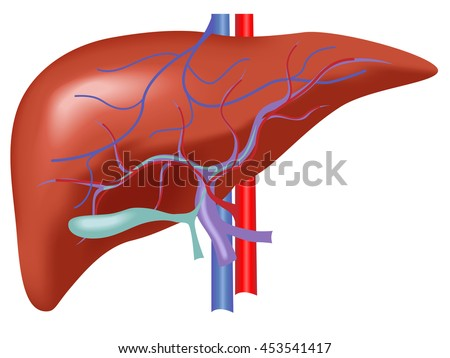 liver disease stock images, royalty-free images & vectors, Human Body