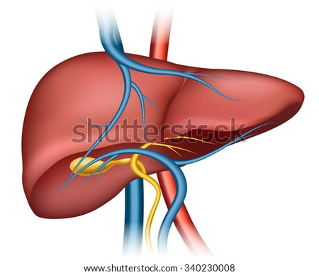 Human liver structure. Organ human, medical science, health internal, vector illustration