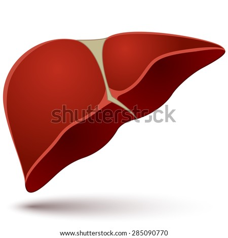 Human liver vector illustration isolated on white background. - stock vector