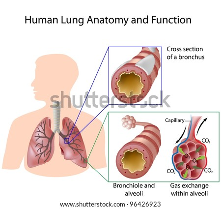 Human lung anatomy and function - stock vector