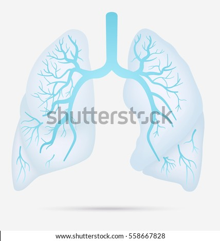 Human lung stock images royalty free images vectors shutterstock human lungs anatomy for asthma tuberculosis pneumonia lung cancer diagram in detail illustration ccuart