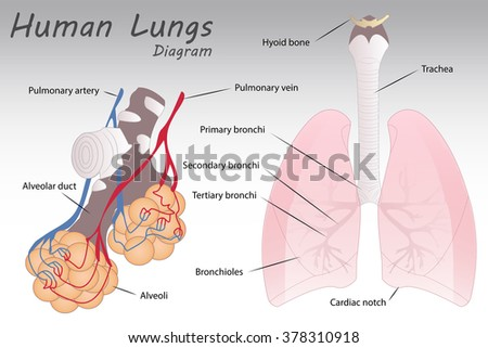 Human lungs diagram stock vector royalty free 378310918 shutterstock ccuart Images