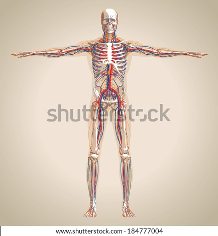 Human (male) circulation system, lymphatic system and nervous system. Vector illustration - stock vector