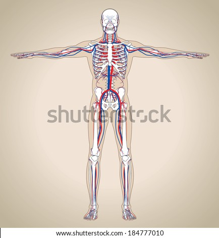 Human (male) circulatory system. Vector illustration