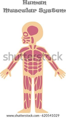 Human Muscular System Kids Cartoon Illustration Stock Vector ...