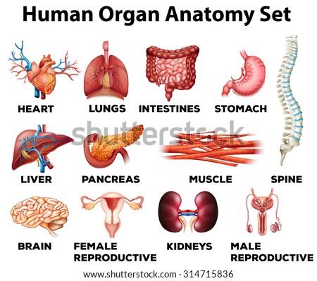 Human Organ Anatomy Set Illustration Stock Vector 314715836 ...