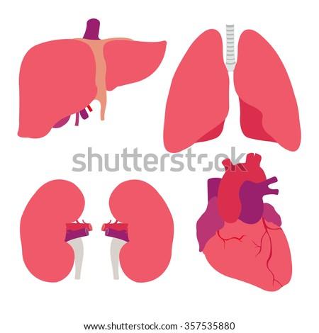 human organs. heart, liver, kidneys, lungs. vector illustration - stock vector