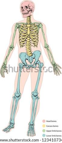 Human skeletal system - stock vector