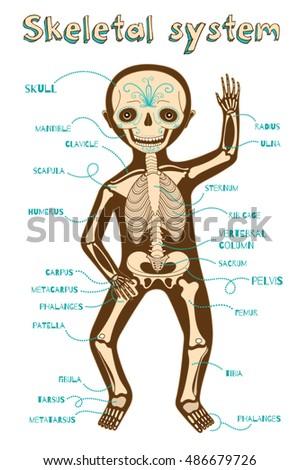 human skeletal system for kids vector color cartoon illustration human skeleton scheme