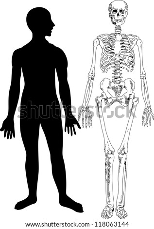 Human Skeleton - stock vector