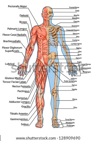 Human skeleton from the anterior view - didactic board of anatomy of human bony and muscular system - stock vector