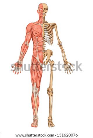 human skeleton anterior view didactic board stock vector 131620076, Muscles