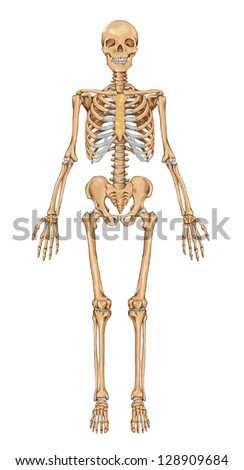 Human skeleton from the anterior view - didactic board of anatomy of human bony system - stock vector