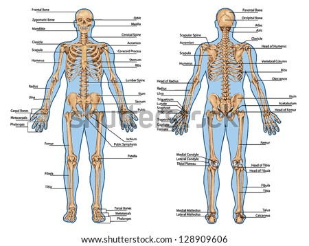 Human skeleton posterior anterior view didactic stock vector human skeleton from the posterior and anterior view didactic board of anatomy of human bony ccuart Image collections
