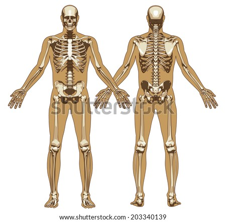 human skeleton on flat body background stock vector 203340139, Skeleton