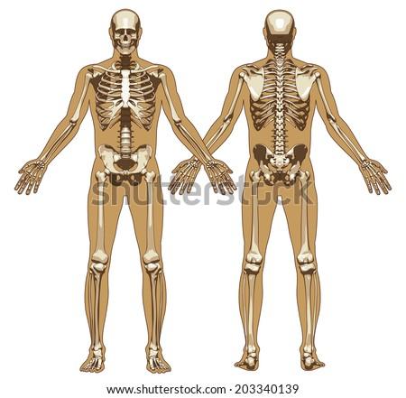 human skeleton on flat body background stock vector 203340139, Skeleton