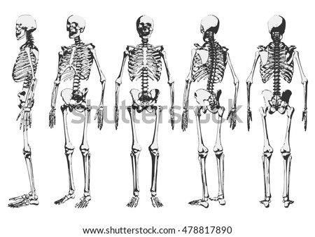 human skeleton stock images, royalty-free images & vectors, Human Body