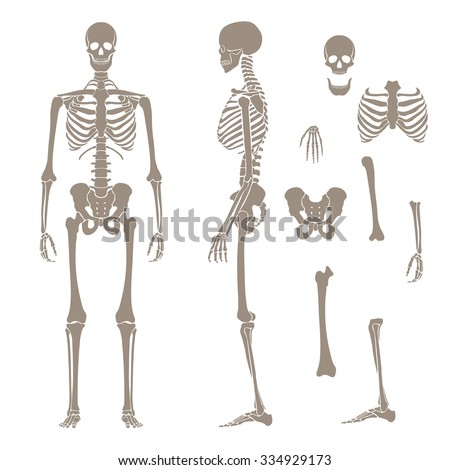 human bones stock images, royalty-free images & vectors | shutterstock, Skeleton