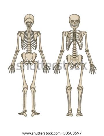 Human Skeleton Vector - stock vector