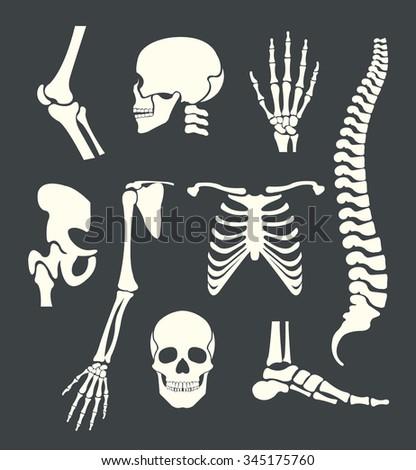 Human skeleton. Vector white illustration set - stock vector