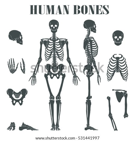 skeletal system stock images  royalty
