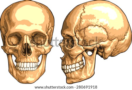 human skull anatomy stock images, royalty-free images & vectors, Human Body