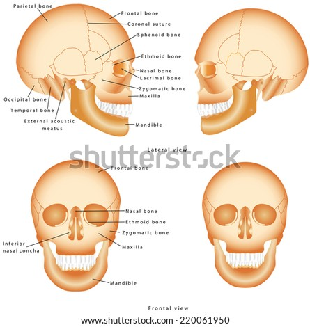 Human Skull structure. Skull anatomy labeling. Medical model of a human skull isolated against a white background. Lateral and Frontal view of Human Skull - stock vector