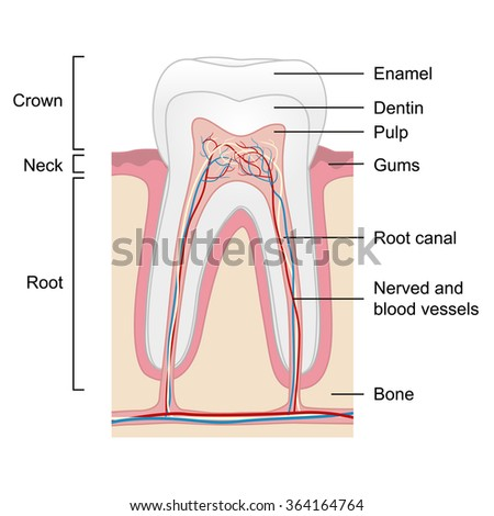 Human tooth anatomy isolated on white background, vector illustration - stock vector