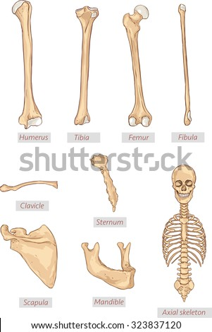 humerus,tibia,femur,fibula,clavicle,sternum,scapula,mandible,axial skeleton detailed medical illustrations .Latin medical terms. Isolated on a white background. - stock vector