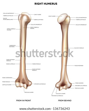 humerus upper arm bone detailed medical stock vector 136736243, Cephalic Vein