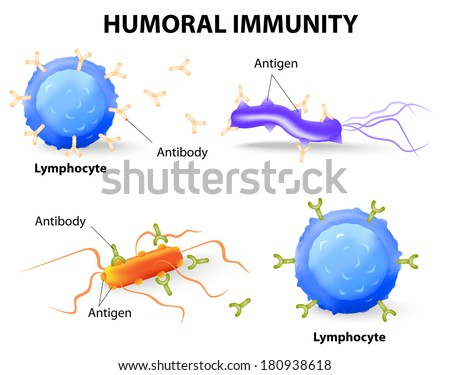 humoral immunity. Lymphocyte, antibody and antigen. Vector diagram - stock vector