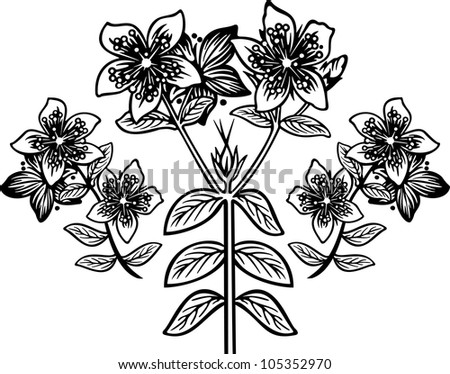Hypericum3 engraving picture. Vector illustration - stock vector